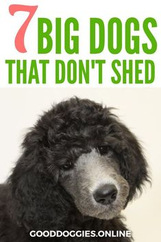 If you're looking for dog breeds that don't shed, check out this list we compiled of big dogs that don't shed. via @KaufmannsPuppy