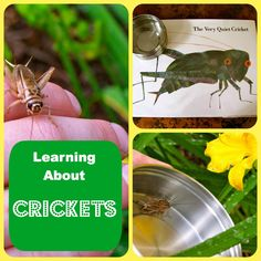 {The Very Quiet Cricket} ~ Fun learning opportunity.  Your local pet store is a great place to purchase crickets.