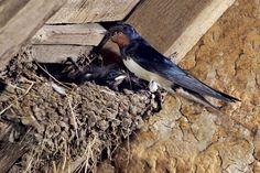 Lastovičky a belorítky: Privítajte v záhrade ten najúčinnejší repelent - Záhrada.sk Repelent, Bird, Animals, Animais, Animales, Animaux, Birds, Animal, Dieren