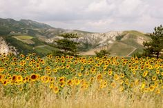 Italy, sunflowers