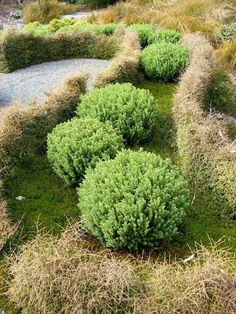 divaricating hedge, hebe Taika(?) and green hebe balls - Otari-Wilton's Bush, Wellington