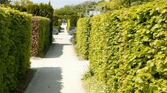 grow a fence Australian plants http://www.jamiedurie.com/site/Your_Outdoor_Room/Green_fences.aspx