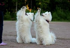 Samoyed Paws Up