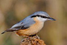 Kleiber Bird Watching, Birds, Animals, Photos, Nuthatches, Animales, Animaux, Bird, Animal Memes
