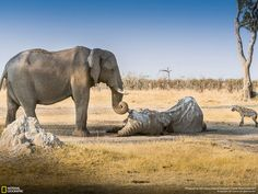Elephants mourn the death of their loved ones.  What is happening in Africa is a tragedy.  The ivory and rhino horn trade must be shut down. Stunning NAT GEO Photographs of 2012 – 19 PHOTOS