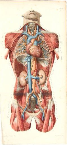 """Grabado del """"Atlas d'Anatomie Descriptive du Corps Humain"""" (1844-46)"""