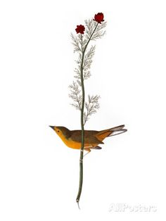 Audubon: Warbler, 1827 Posters by John James Audubon at AllPosters.com