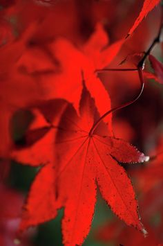 Japanese Maple Leaves by Jenny Rainbow Art Prints For Home, Fine Art Prints, Ur Beautiful, Maple Leaves, Soft Autumn, Japanese Maple, Fine Art Photography, Red Color, Rainbow