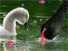 黑天鵝.攝於台灣 台中縣 武陵農場 Black Swan, taken at Wuling Farm, Taichung County, TAIWAN.
