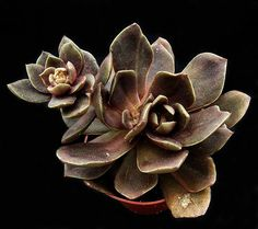 Echeveria 'Brown Sugar' - Great board of succulents http://www.pinterest.com/maryanneq/succulents/