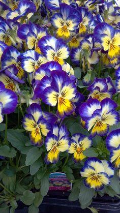 Power Flowers - Viola