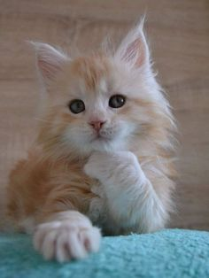 50 Cute Maine Coon Kittens That Are Actually Giants Waiting To Grow Up - Cute kittens Pretty Cats, Beautiful Cats, Animals Beautiful, Cute Cats And Kittens, Kittens Cutest, Cute Baby Animals, Funny Animals, Animals Images, Funny Cats