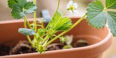 Πέντε συμβουλές για τη φύτευση φράουλας
