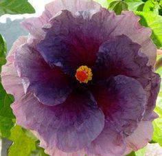 """Tropical hibiscus ...""""Dark Horse""""....."""