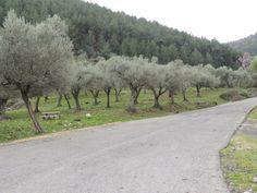 Olive Tree - Israel - February 2014