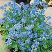 Forget-Me-Not -where's the best place for them?  Near shed? in apple tree bed?