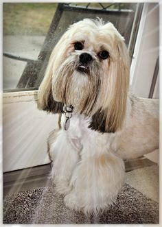 1000 Images About Lhasa Apso On Pinterest Lhasa Apso