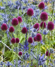 Globe Thistle with Drumstick Allium:Serenity in the Garden: My Annual Reminder- Plant Drumstick Allium now Repinned by www.sailorstales.wordpress.com