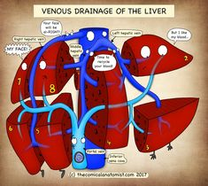 Venous Drainage of the Liver Archives - The Comical Anatomist Oncology Nursing, Pharmacology Nursing, Human Body Anatomy, Human Anatomy And Physiology, Arteries Anatomy, Interventional Radiology, Biology Lessons, Medical Pictures, Medical Anatomy