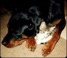 That is how my Rot Bear was with our Siamese mix Yangtze. They loved each other.