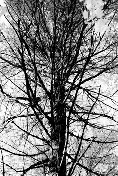 We went to camping at Algonquin Park in Ontario during Fall to watch the color change of the leaves. However, I was attracted by a few lonely pin trees and decided to take this picture and process it in black and white.