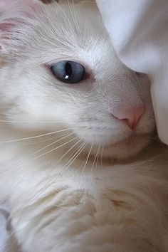 Eighty percent of white cats with blue eyes are deaf. But not my darling Fiona. She can hear a foil ball crunch from 20 yards. Eighty percent of white cats with blue eyes are deaf. But not my darling Fiona. She can hear a foil ball crunch from 20 yards. Pretty Cats, Beautiful Cats, Animals Beautiful, Cute Animals, Simply Beautiful, White Kittens, Cats And Kittens, Tabby Cats, Ragdoll Kittens