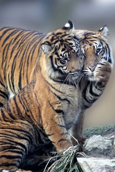 Tiger love ~ By Gabriele Tenhagen Beautiful Cats, Animals Beautiful, Beautiful Pictures, Big Cats, Cats And Kittens, Siamese Cats, Funny Kittens, Animals And Pets, Cute Animals