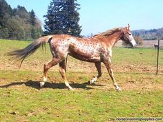 Reverse Dappling: not much is known about this, but The Equine Tapestry has a few theories ; Looks like cheetah print. Dressage Horses, Appaloosa Horses, Most Beautiful Animals, Beautiful Horses, Horse Markings, All About Horses, All The Pretty Horses, Horse Pictures, Donkeys