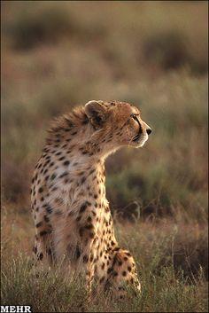 Persian Cheetah at Turan National Park
