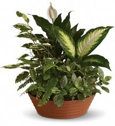A white hypoestes is joined by green dieffenbachia, spathipyhllum, ficus and Boston fern that's delivered in a beautiful plastic dish.