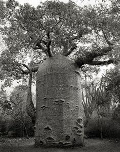 Pendant 14 ans elle photographie les arbres les plus vieux du monde Des portraits du temps