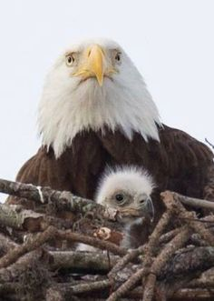 Where the Eagles are. Nature Animals, Animals And Pets, Baby Animals, Cute Animals, Pretty Birds, Beautiful Birds, Animals Beautiful, Eagle Pictures, Animal Pictures