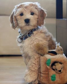 Labradoodle..This is the dog Kenny wants us to get..This one is pretty cute and the good thing about them is that they dont shed.