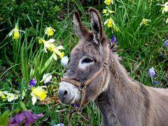 Donkeys ˛° 。 Cute Donkey, A Donkey, Burritos, Farm Animals, Cute Animals, All Gods Creatures, Zebras, Livestock, Animal Kingdom