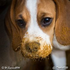 I think Grace has been burying something - beagles