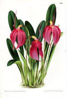 1873 Antique Botanical Print French Orchid Pink Linden Botanical Art Vintage Flower Home Decor