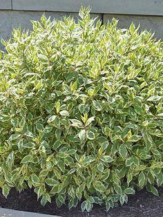 Full Sun Shrubs, Full Sun Perennials, Full Sun Plants, Small Shrubs, Small Trees, Evergreen Shrubs, Flowering Shrubs, Trees And Shrubs, Ivory Halo Dogwood