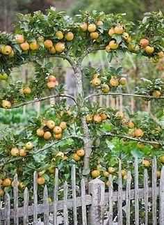 Espalier trees are the process of training trees, shrubs, and woody vines against a flat surface, such as a wall.