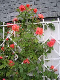 Парковые розы (50 фото): аристократизм и ностальгическая изысканность вашего сада http://happymodern.ru/parkovye-rozy-foto/ Роза сорта Вестерленд быстро растет и к тому же зимостойкая, её можно использовать как кустовую либо плетистую розу Смотри больше http://happymodern.ru/parkovye-rozy-foto/