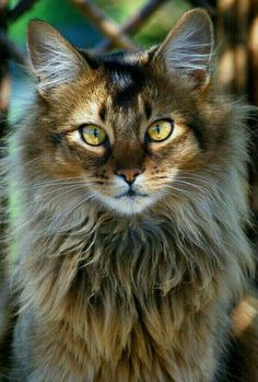 This cat looks like a Lion • • • • • #cat #chat #gato #adorable #catlover #catpassion #kitten #cute Cute Cats, Funny Cats, Little Kitty, Maine Coon Cats, Cats And Kittens, Sweet, Cute Animals, Pretty, Portrait