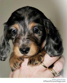 Dapple baby dachshund