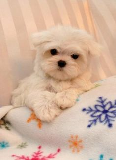 Maltese and Children: Is It a Good Combination - Champion Dogs Teacup Puppies, Cute Puppies, Cute Dogs, Dogs And Puppies, Doggies, Teacup Maltese, Love My Dog, Baby Animals, Cute Animals