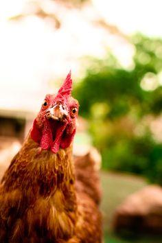 Hens have big personalities. #hensdeservebetter