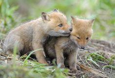 fox cubs kamchatka  http://www.56thparallel.com/kamchatka-peninsula/