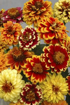 Persian Carpet (Zinnia) Click to enlarge