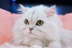 導讀:養貓的愛貓一族,都希望自家的愛貓,有個好家教,貓咪天性敏感,有時教養貓咪要特別注意,小編在這裡整理養育貓咪,會碰到的訓練問題,及如何修正自家愛貓的壞脾氣,以下分析,讓我們一起來了解。