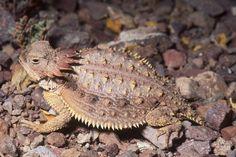 Some reptile species show signs of decline, azstarnet.com