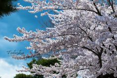 Towada City park during Sakura bloom