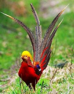 Chinese golden pheasant bird. This pheasant species are popular in aviaries,the Golden Pheasant (Chrysolophus pictus).