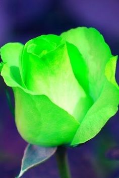 belles images du net divers - Page 10 Green Rose, Green Flowers, Green And Purple, Shades Of Green, Pretty Flowers, Mean Green, Moon Garden, Rose Wallpaper, Neon Colors